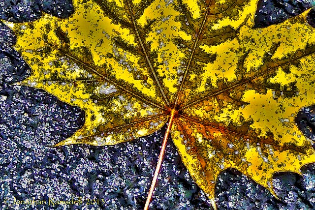Wet Norway Maple Leaf