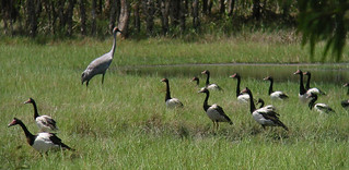 Brolga and geese cropped | by mackayconservation