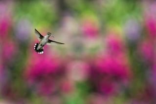 Hummingbird in the Garden_DSC3987