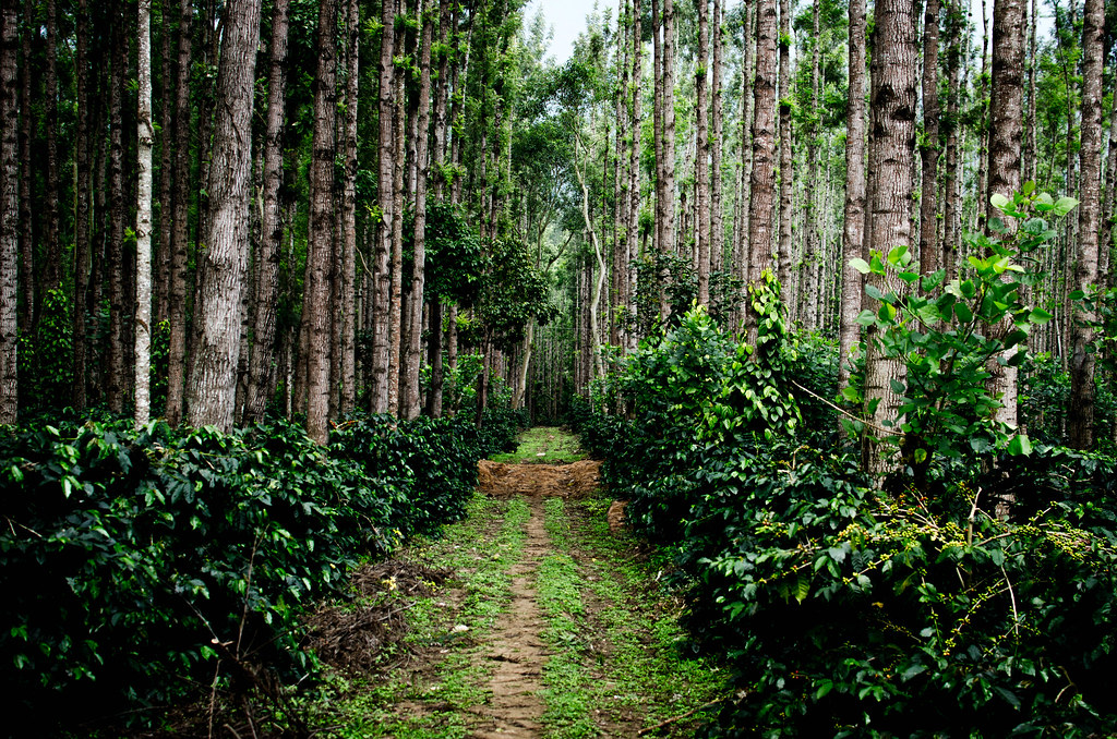Coffee plantation area in Chikmagalur