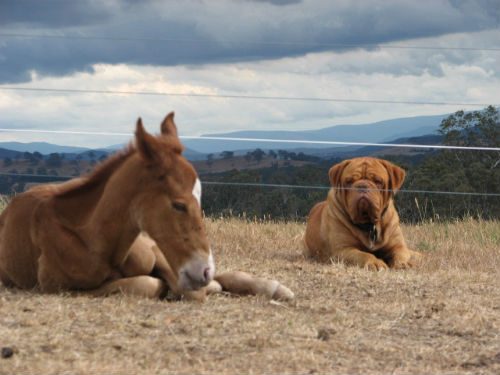 Diesel guarding Maverick the foal