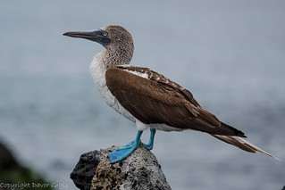 Blue footed booby | by Dgrgic