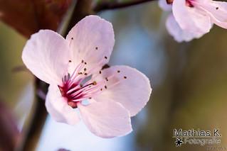 Sakura | Projekt 365 | Tag 99