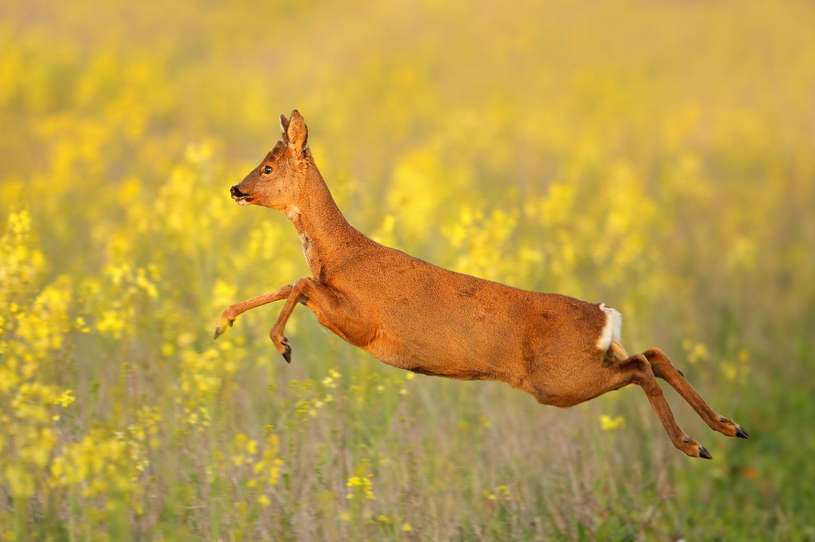 Leaping Roe Deer