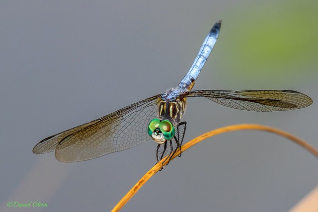 Blue Dasher dragonfly (Pachydiplax longipennis) male