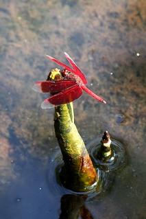 sungei buloh - dragonfly   by salazar62