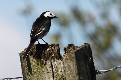 Pied Wagtail | by Paul Marfell
