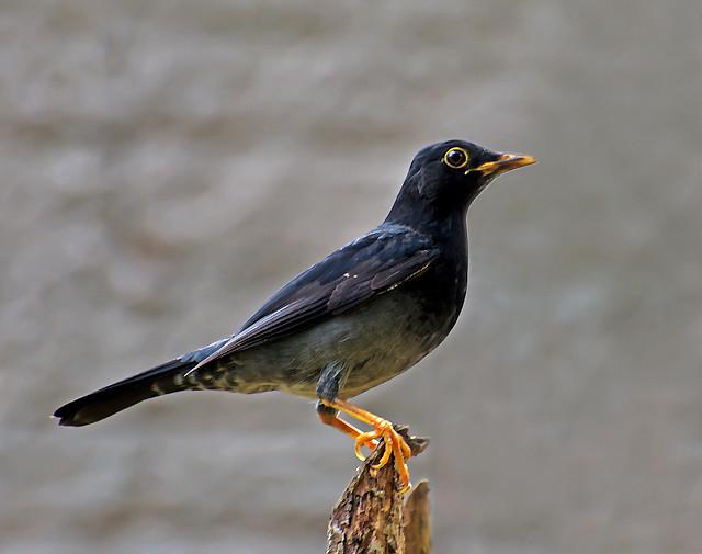 SABIA-UNA (Turdus flavipes )