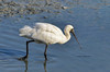 The Black Faced Spoonbill - Okinawa by Okinawa Nature Photography