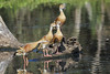 Plumed whistling ducks by Pete Taylor's photostream