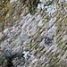 Anisomeridium