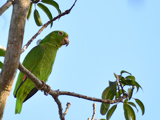Papagaio-campeiro // Loro Coroniamarillo // Yellow-crowned Parrot | by jvverde
