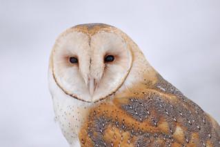Beautiful Barn Owl   by USFWS Mountain Prairie