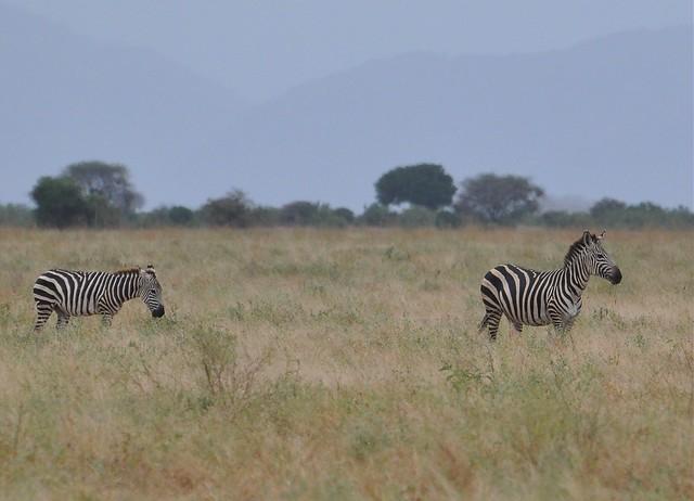Equus quagga boehmi - Grant's Zebra - Zèbre de Grant - 19/02/10