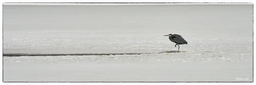 heron nikon missouri d800 stcharlescounty augustabuschmemorialconservationarea 2470mmf28nikkor ©copyright buschconservation