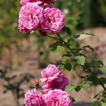 Rose, Magenta, バラ, マゼンタ,