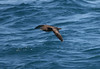 Short-tailed Shearwater  (Puffinus tenuirostris) by TG23-Birding in a Box