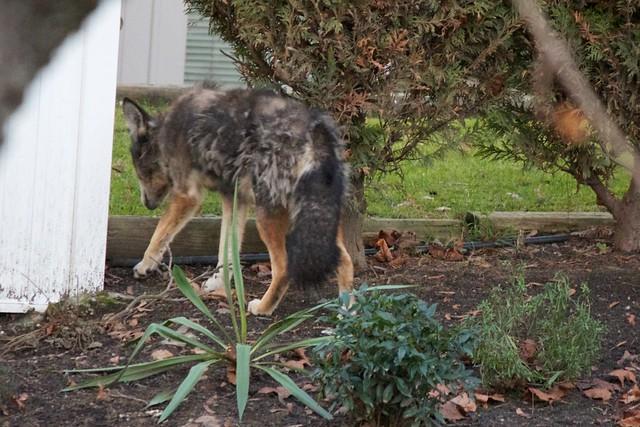 Coyote 002