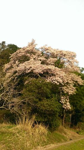 桜 春日 2014