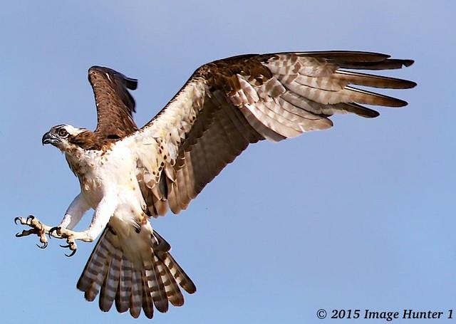 Osprey Bayou Benoit Atchafalaya Basin Louisiana Flickr