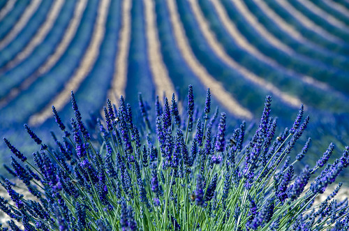 Lavender fields in Provence | by dominique cappronnier