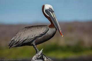 Brown Pelican | by Dgrgic