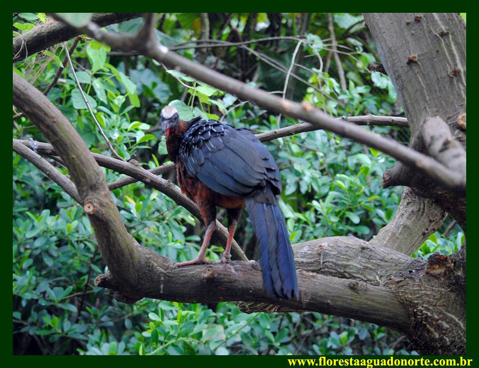 Amazônia Jacupiranga  Penelope pileata CRACIDAE Floresta Água do Norte Celcoimbra Site Santarém Amazonia Amazonica Amazônica Amazon DEF Marketing Turismo hotel 2D