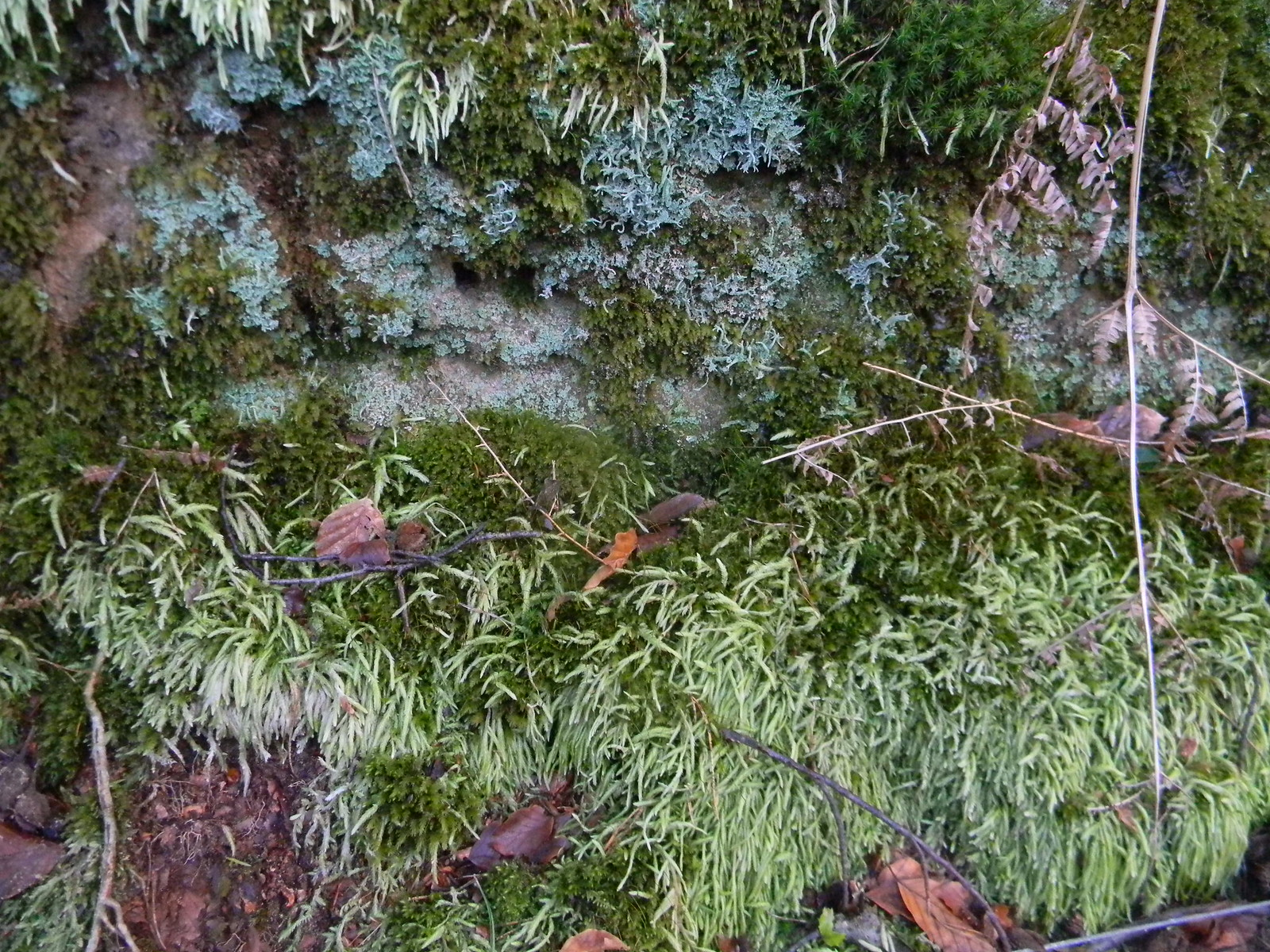 Moss & lichen Guildford to Farnham