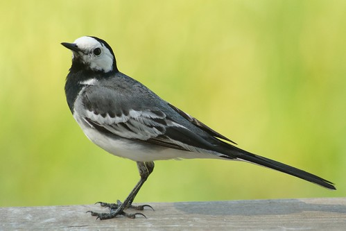 White Wagtail - Motacilla alba | by manum.net - Photos from Manum Gård