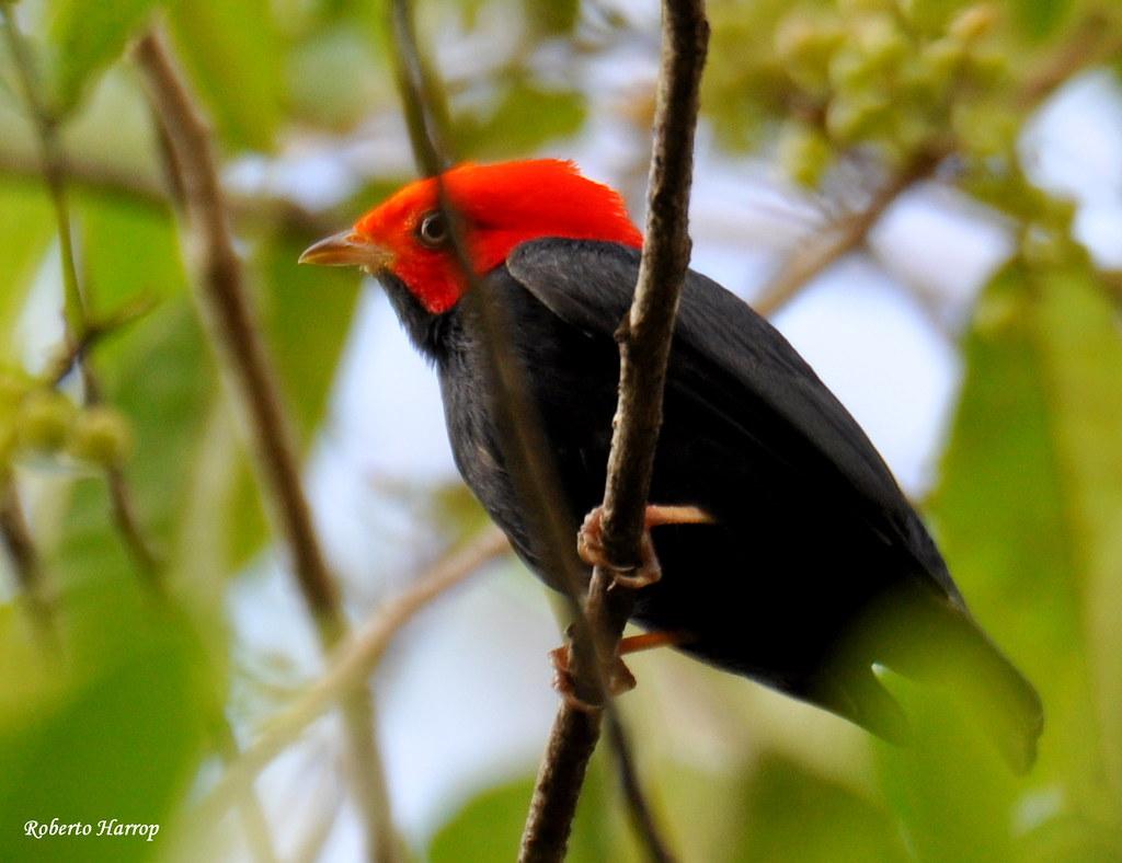 Dançarino-de-cabeça-vermelha ou Uirapuru-de-cabeça-vermelha (Pipra rubrocapilla)- Red-headed Manakin