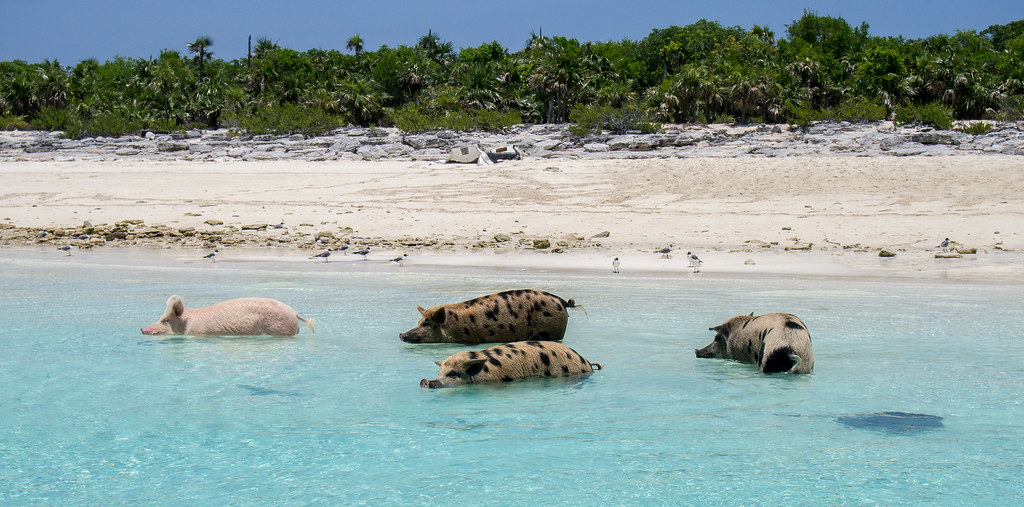 Pig Beach - Swimming Pigs of the Exumas | So in the Bahamas