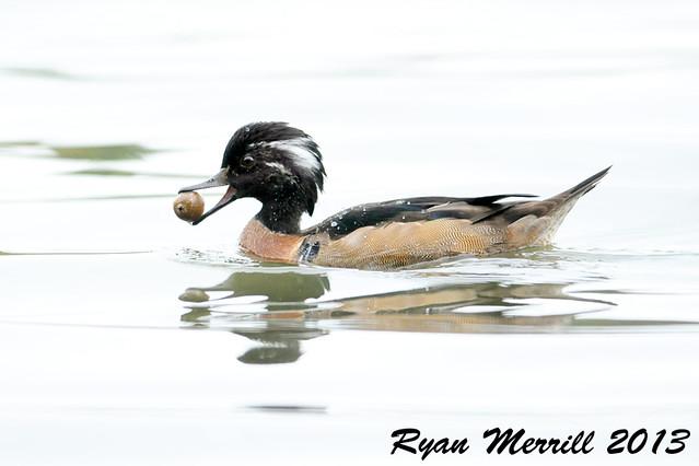 Wood Duck x Hooded Merganser hybrid