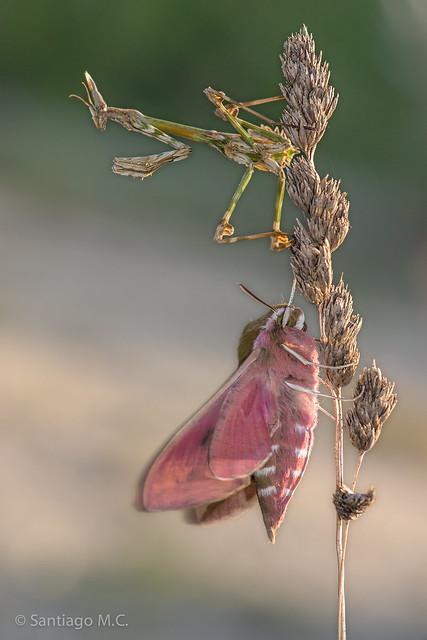 Hyles tithymali gallaeci + empusa pennata