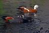 Paradise duck family Tadorna variegata by Maureen Pierre