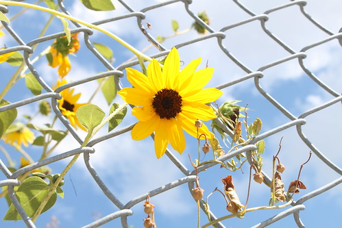 Sun Flower on a Chain Link Fence | by O.S. Fisher