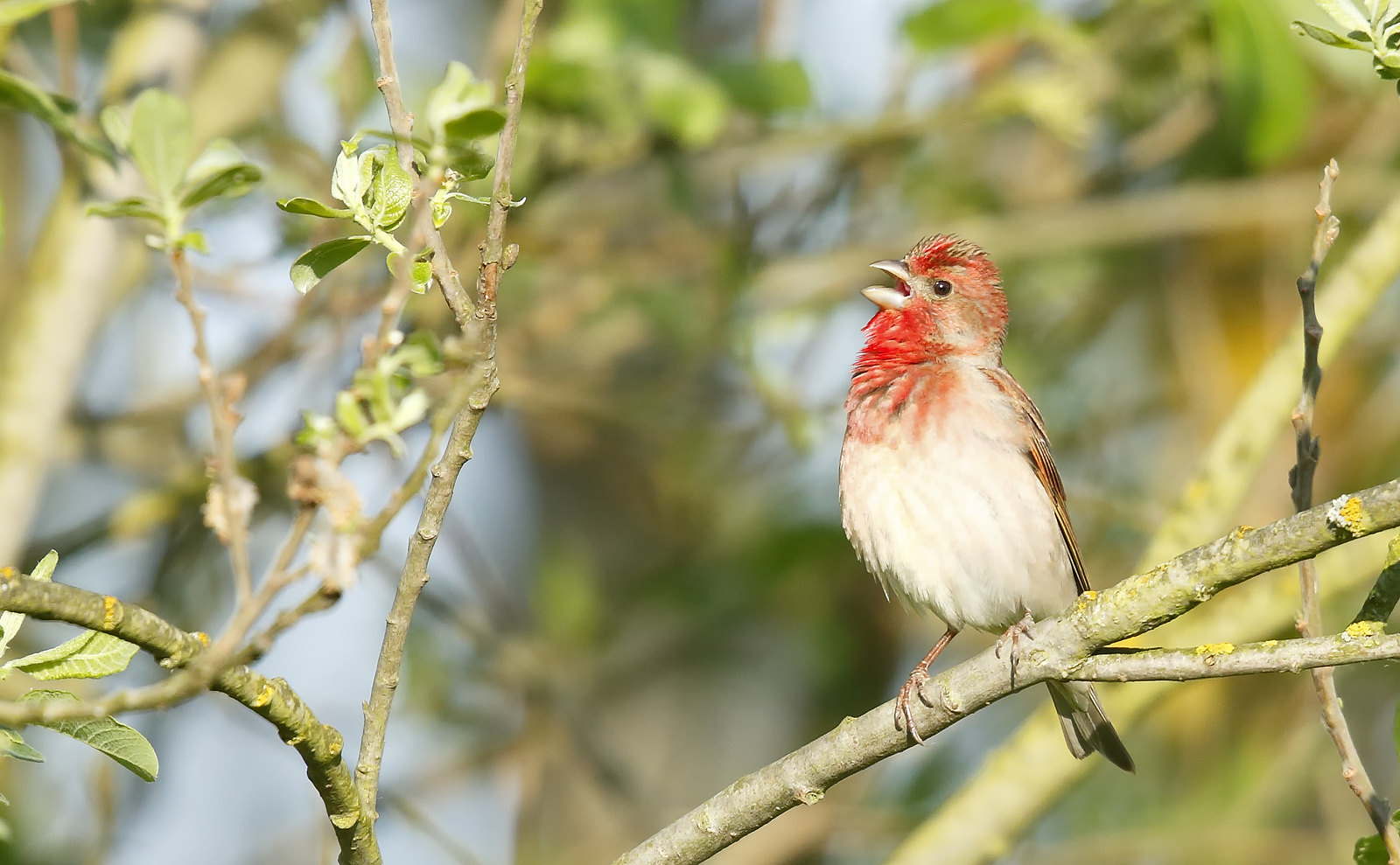 Common [Scarlet] Rosefinch