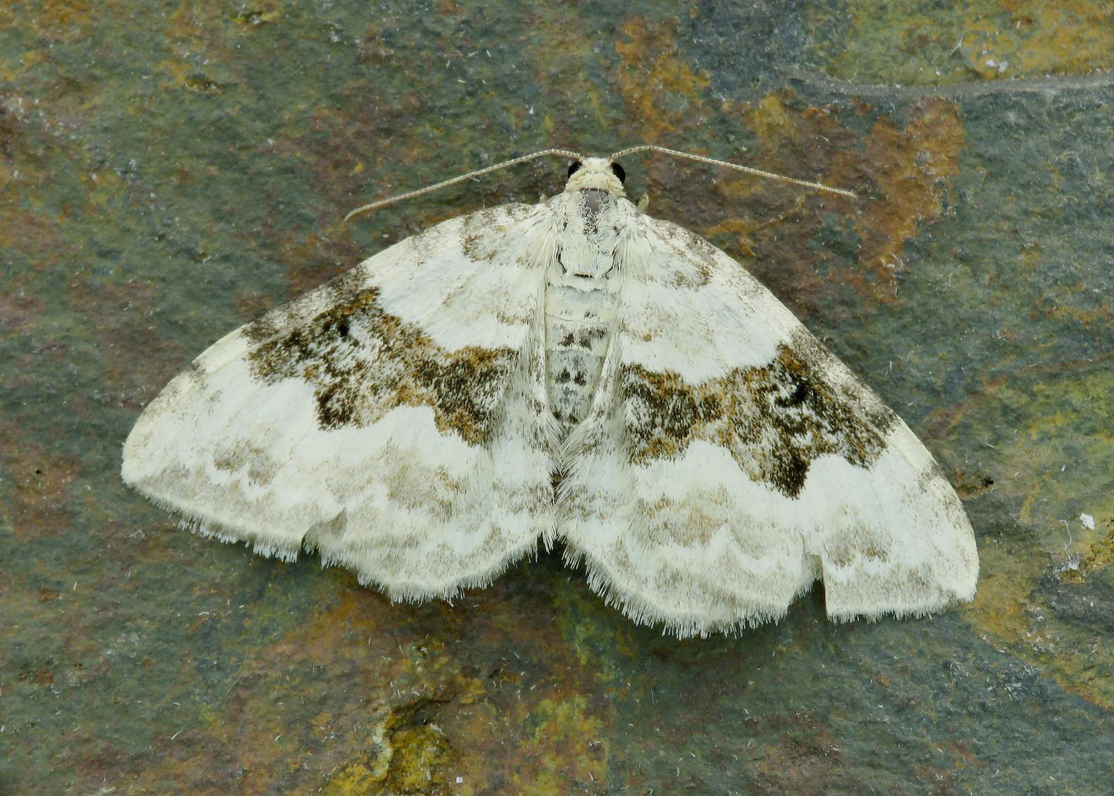 70.054 Silver-ground Carpet - Xanthorhoe montanata