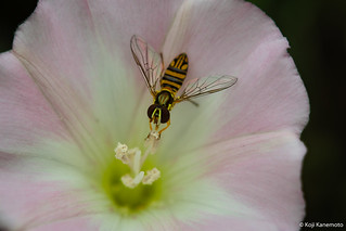 Hoverfly | by Mustang Koji