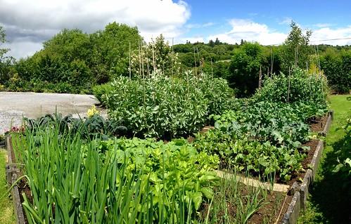 ireland panorama irish green vegetables cork newmarket productive raisedbeds iphone5 mountainviewbb 2015onephotoeachday