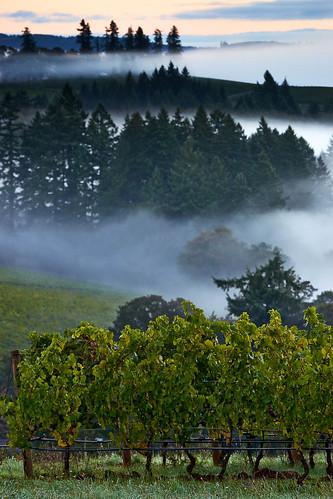 trees cloud fog oregon sunrise landscape dawn vineyard unitedstates wine dundee willamettevalley