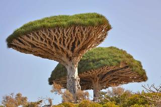 Dragon's Blood Tree, Socotra Island   by Rod Waddington