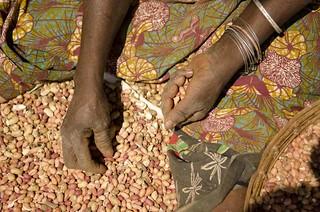 sorting peanuts