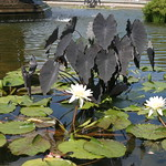Lilies in the fountain