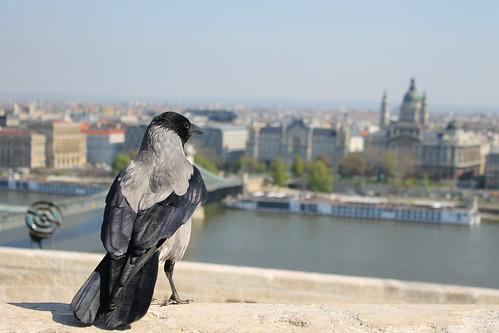 morning bird relax hungary view sunday budapest crow danube