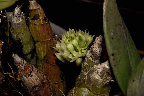 Dendrobium capituliflorum | by Markus Branse