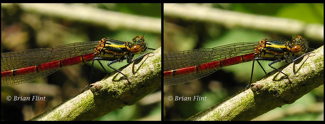 Another Large Red Damselfly  - 3d crossview