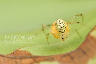 Comb-Footed Spider (cf. Meotipa sp.) - DSC_5688