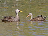 Mottled Ducks, Bailey Tract (Florida), 16-Apr-13 by Dave Appleton