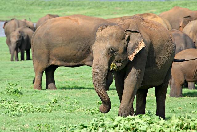 The Gathering. Minneriya National Park, Sri Lanka