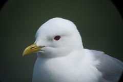Mew Gull, 6/27/2013, Potter Marsh, Anchorage, AK